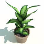 Dieffenbachia, pianta da interni