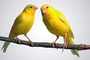 Canarini domestici gialli.
