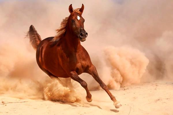 Cavallo arabo che corre.