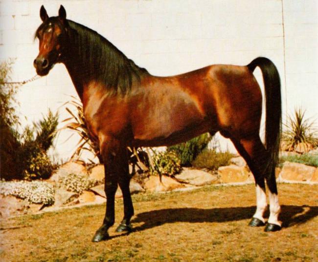 Immagine di cavallo arabo.