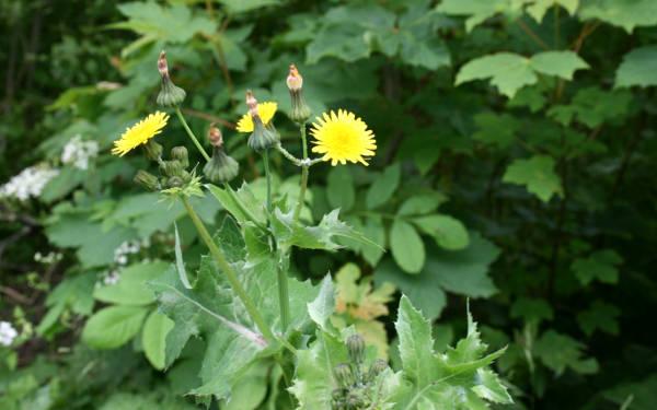 erba selvatica commestibile molto comune, il grespino.