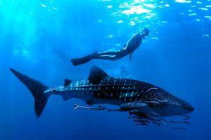 Nuotare insieme allo squalo balena.