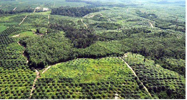 Piantagione di palme da olio che causa la distruzione della foresta pluviale.