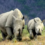 Rinoceronti in Sudafrica.