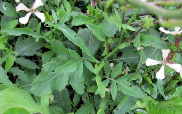 Rucola, un'erba selvatica commestibile molto buona.