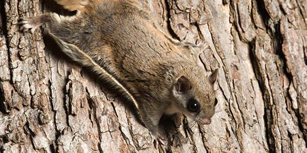 Uno scoiattolo volante su un albero.