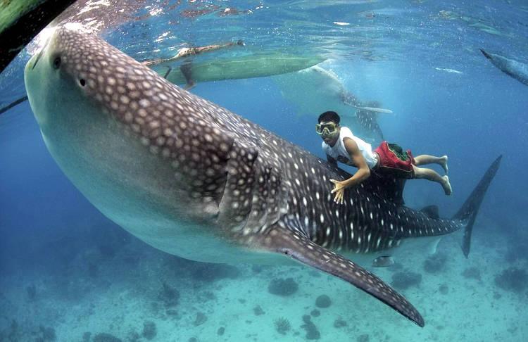 Squali balena nuotano nel mare insieme all'uomo.