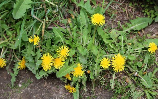 Tarassaco, un'erba selvatica che si può mangiare.