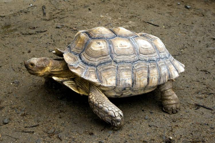 Tartaruga di terra sulcata, Geochelone sulcata.
