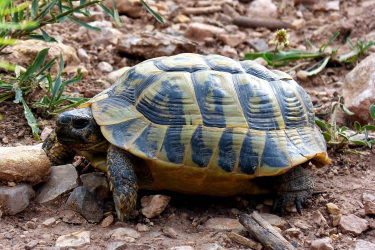Una tartaruga di terra o tartaruga terrestre in libertà.