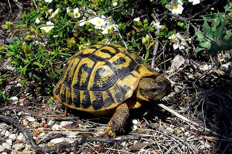 Tartaruga di terra mediterranea, Testudo hermanni.