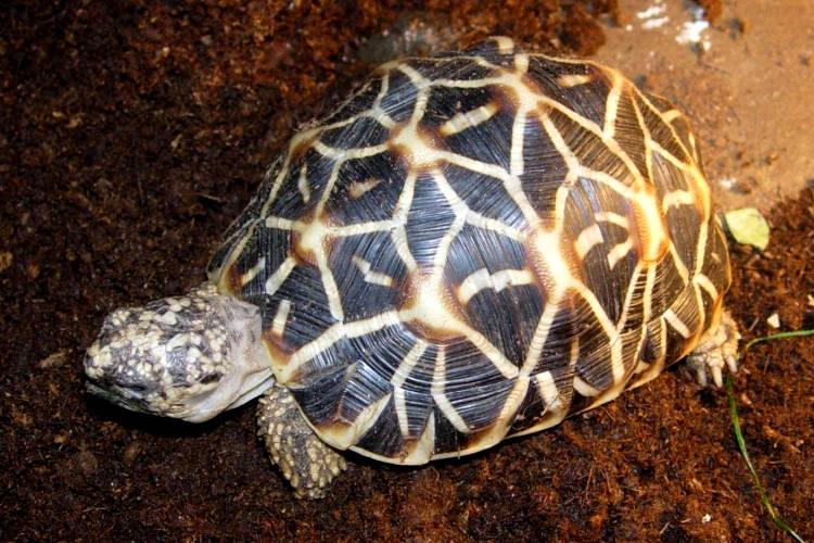 Tartaruga stellata, Geochelone elegans.