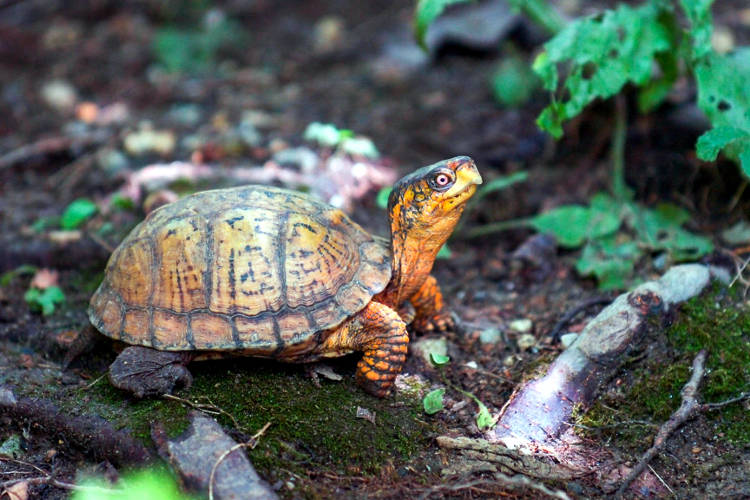 Tartaruga terrestre in un terrario in casa.