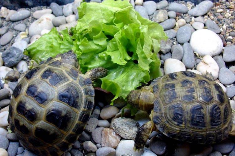 Tartarughe che mangiano insalata.